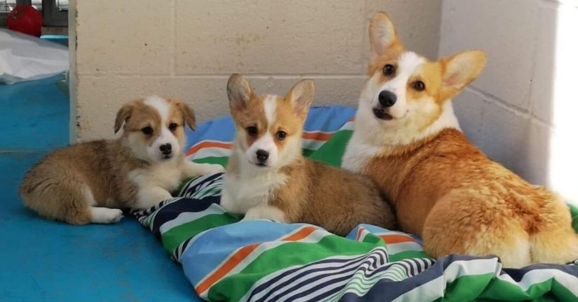 Corgi family in kennel
