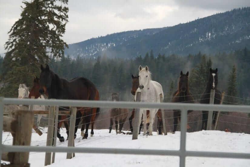 BC SPCA 125 Horses