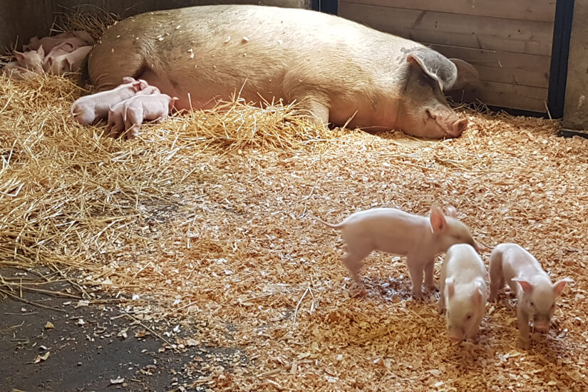 BC SPCA 125 Pigs in Straw