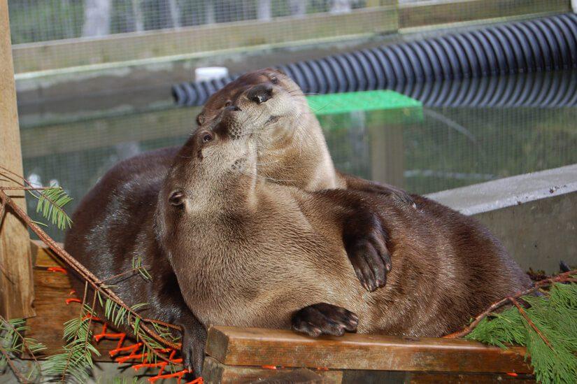 BC SPCA 125 Otters