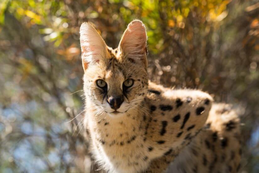 BC SPCA 125 Wild Cat