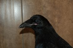 Young Common Raven