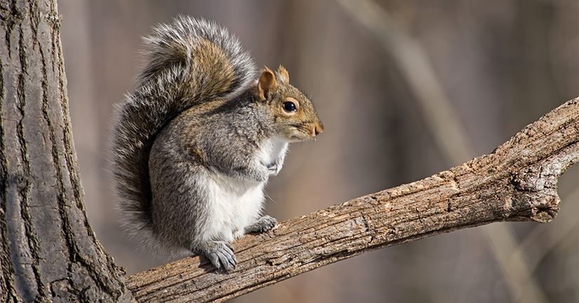 gray squirrel on branch