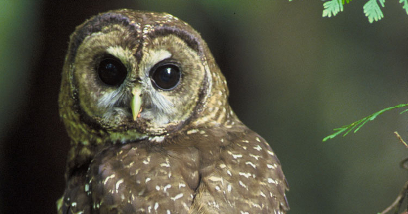 northern spotted owl in the wild