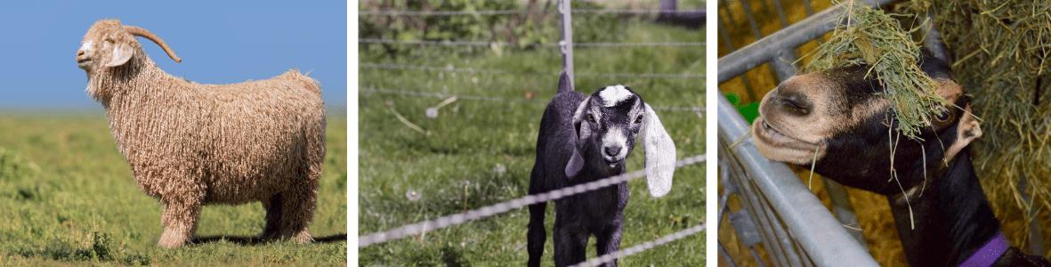 Three goats: Angora goat, Nubian goat and Lamancha goat