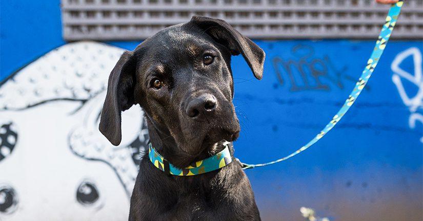 Black dog looking at camera