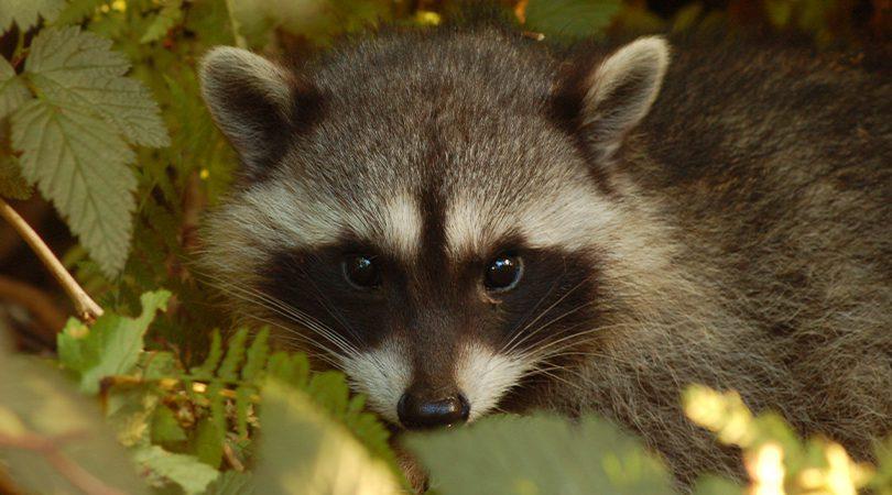 BC SPCA Animal Kind Pest Control Raccoon