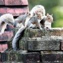 Three grey squirrels on brick chimney