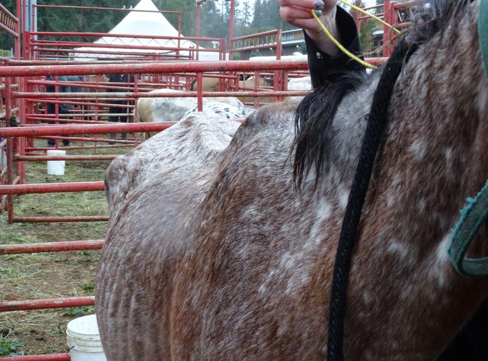 Very skinny Appaloosa horse