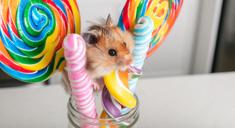 A hamster rests on a few rainbow coloured-lollipops in a jar.