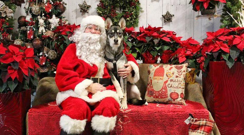 Nyra the German Shepherd-Husky mix takes a photo with Santa