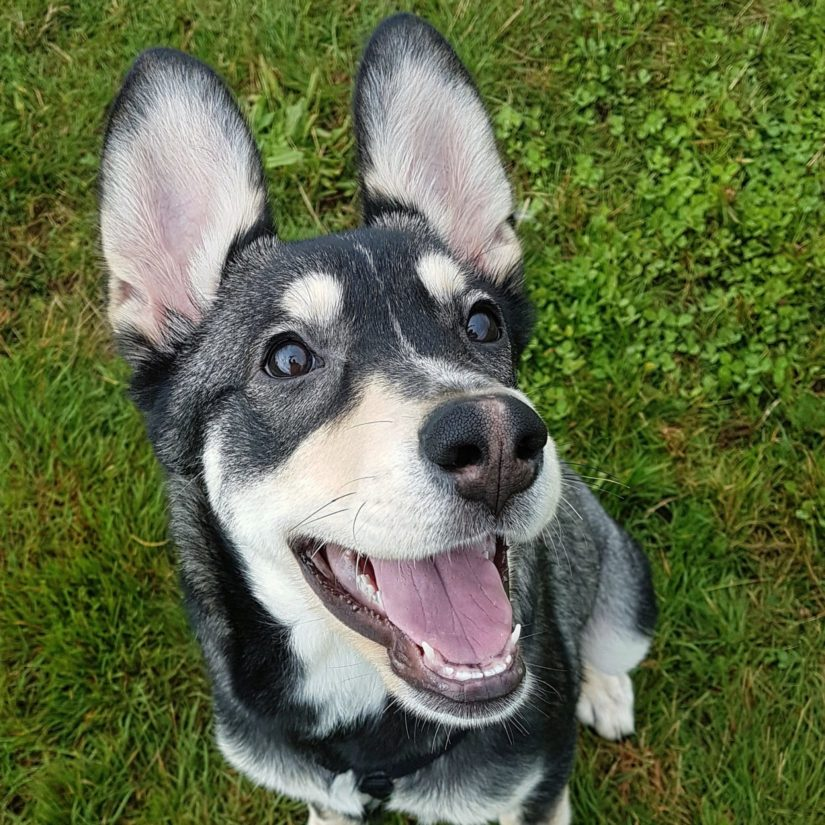 Nyra the German Shepherd-Husky mix happily looks at the camera for a photo