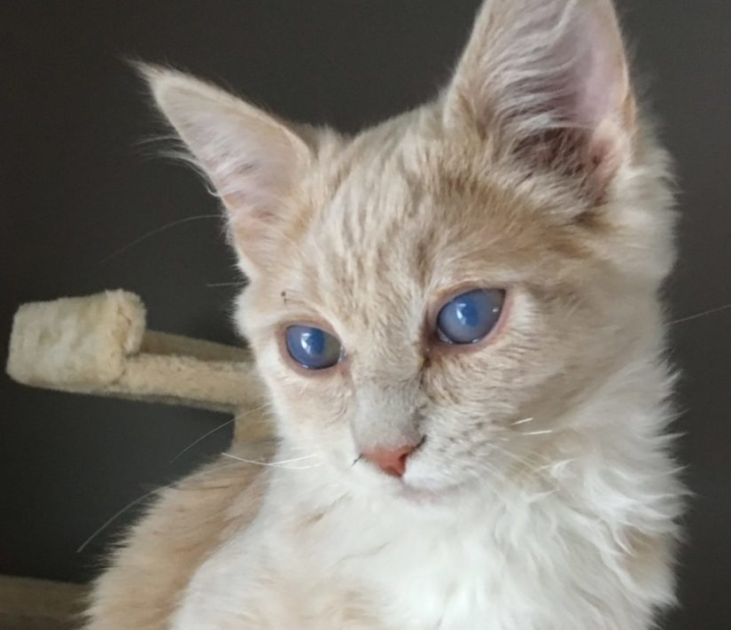 Bumble, a kitten with glaucoma, will need to have her eyes removed. Here, she poses in front of the camera with open eyes; they are clouded over.