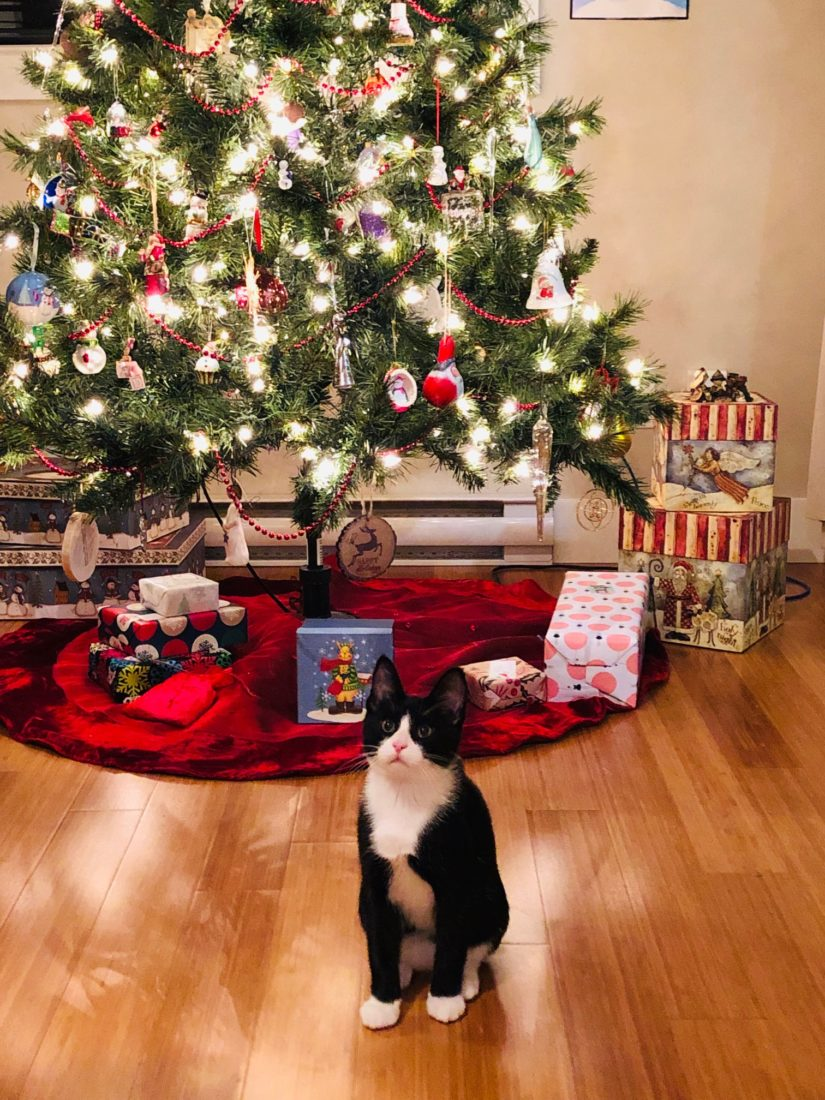 Howard the tuxedo cat stands in front of a Christmas tree.