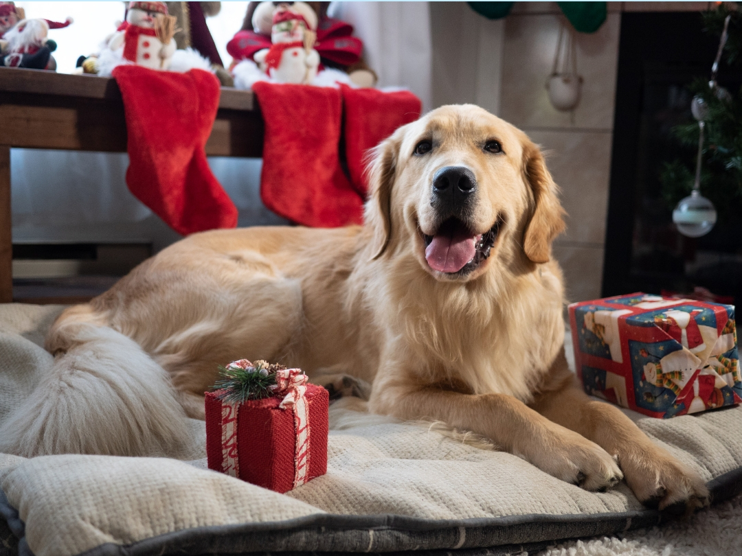 A golden retriever named Jerry sits happily by the fireplace