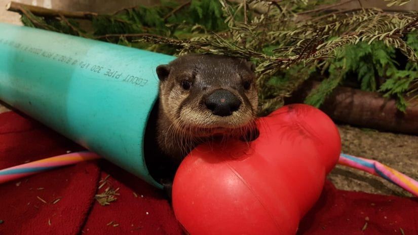 River otter in tunnel with red toy
