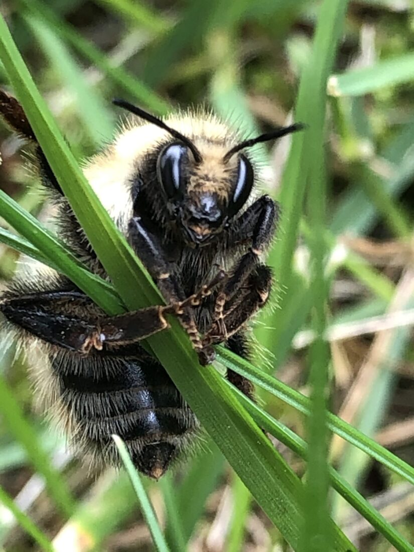 bee on grass