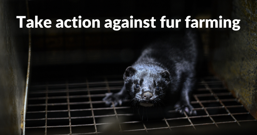 Mink kit in a cage at a fur farm in British Columbia