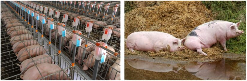 Breeding female pigs housed in gestation stalls (left), breeding female pigs raised cage-free with outdoor access (right)