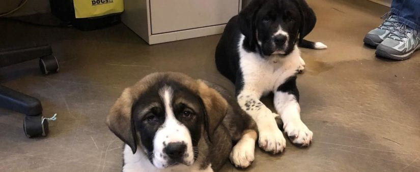 St  Bernard-cross puppies find their forever homes | BC SPCA