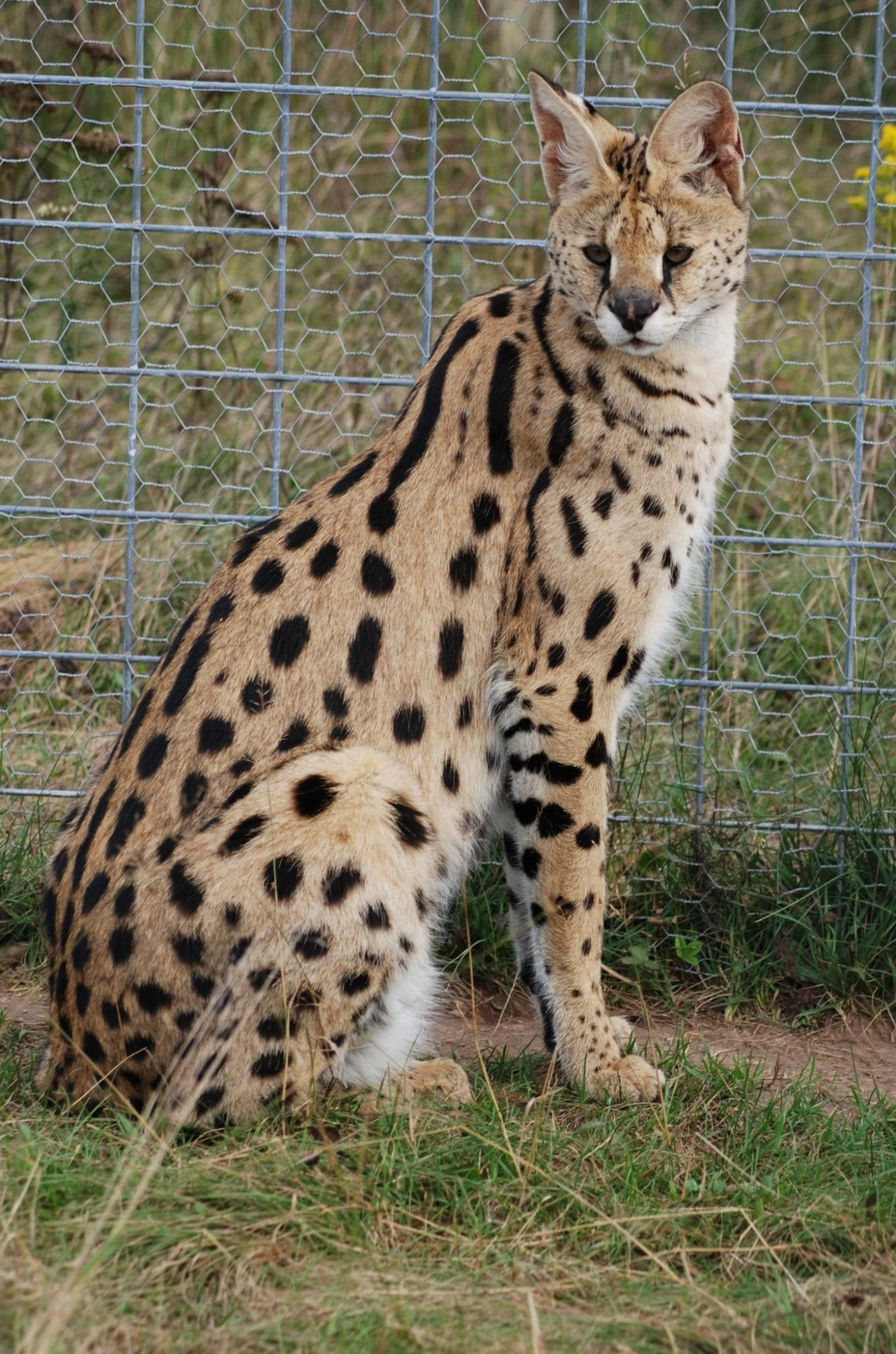 A serval cat against wire fence