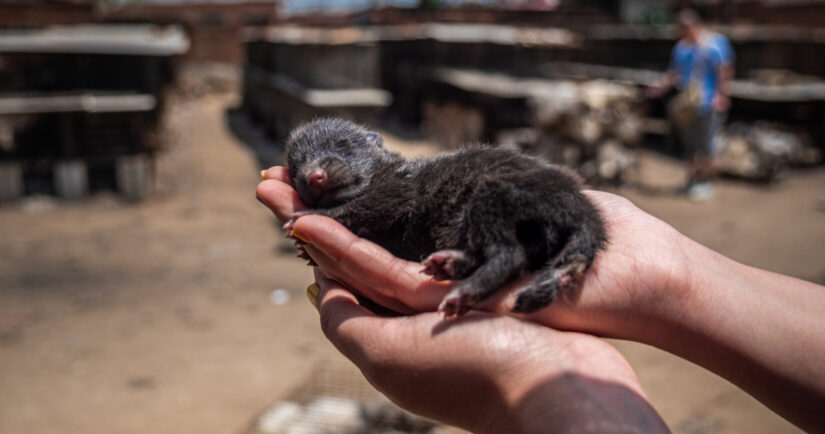Mink kit in hands on fur farm. Stop fur farming