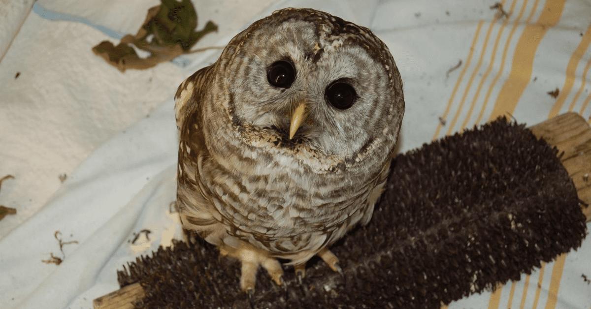 Wild ARC Owl Patient