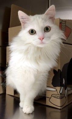 Cat Adoption Abbotsford