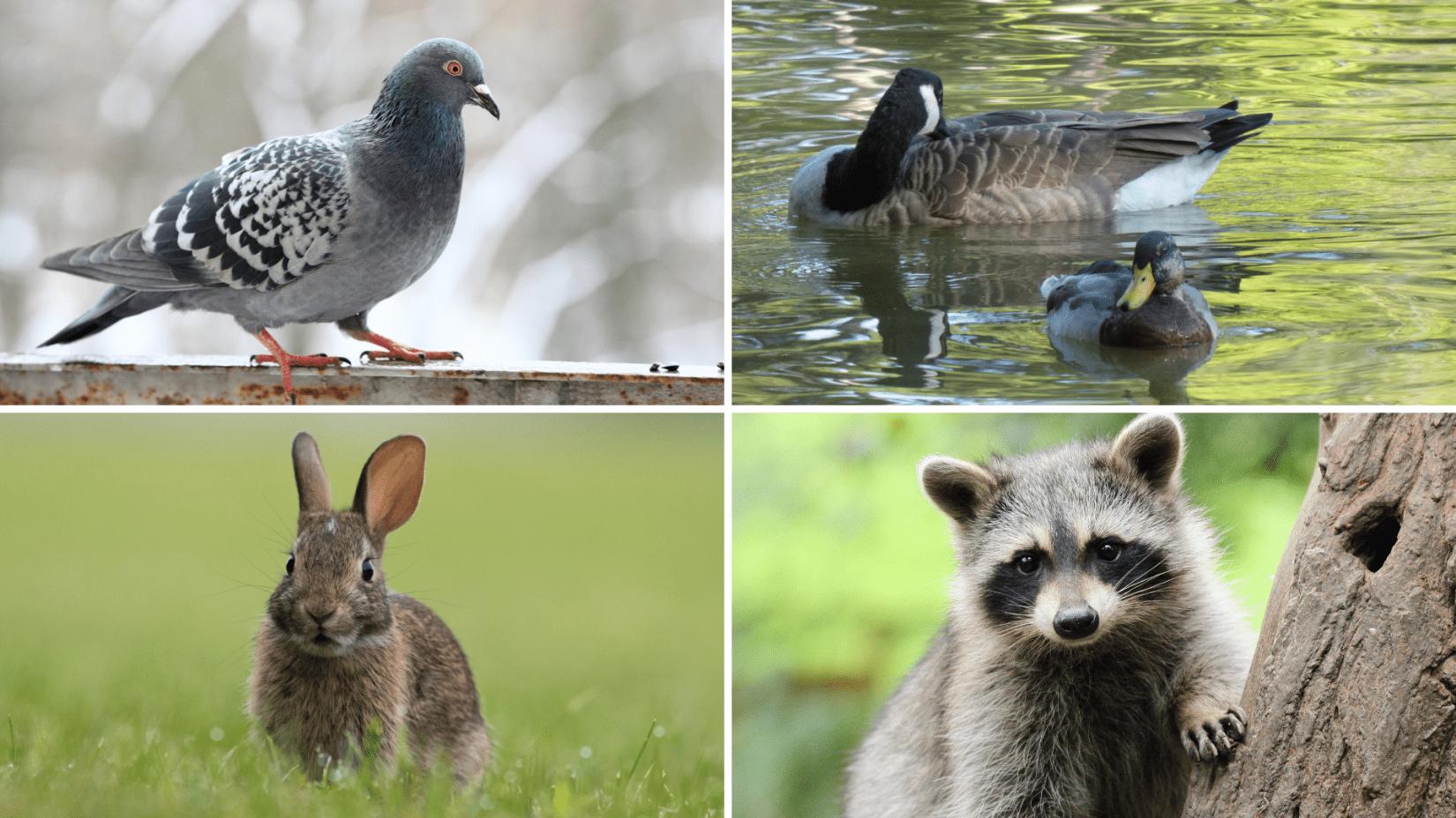 Collage of adult wild animals - pigeon, Canada goose & mallard, cottontail rabbit, raccoon