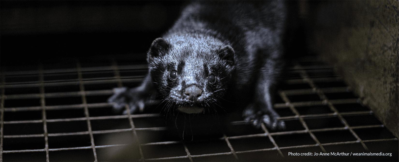 scared mink kit in dark cage
