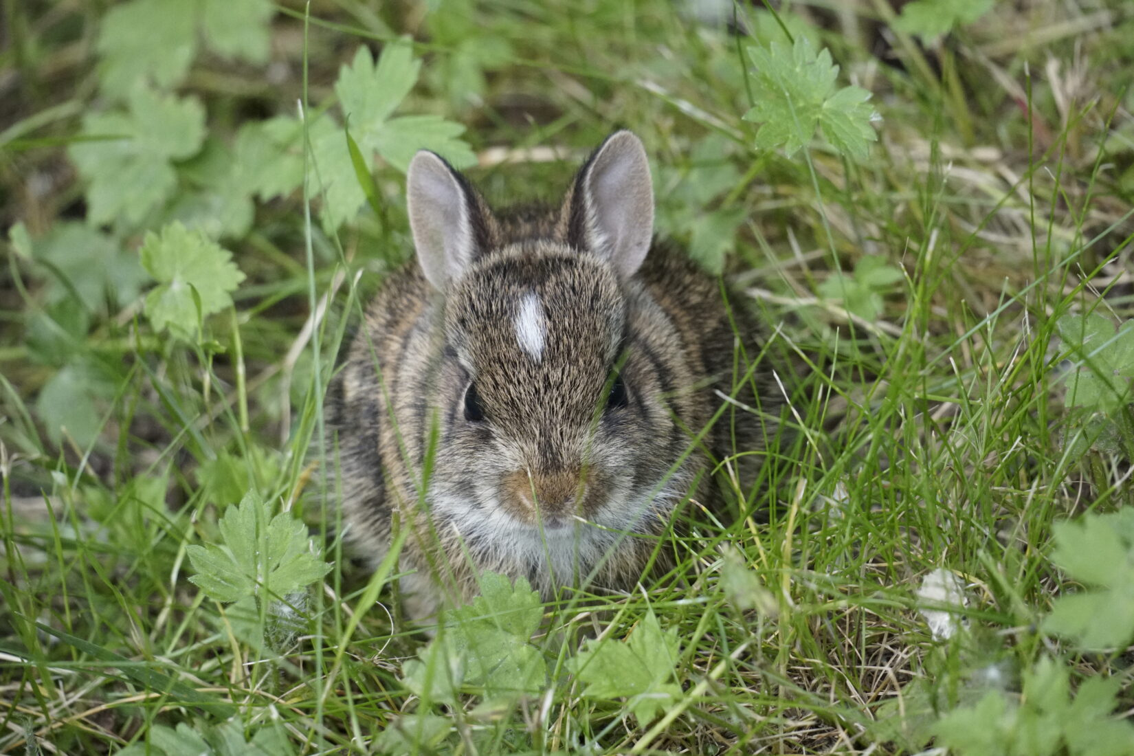 Baby cottontail rabbit in grass