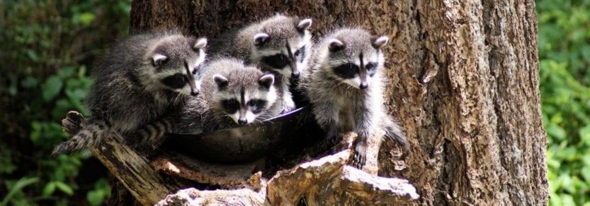 Baby raccoons in a birdbath