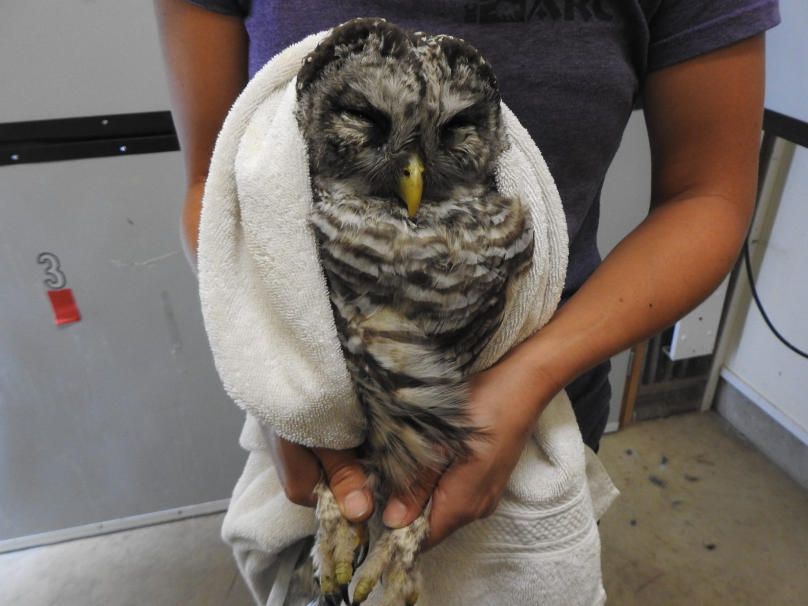 Barred owl in care at Wild ARC