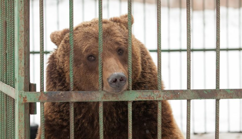 Big sad brown bear resting on cage bars