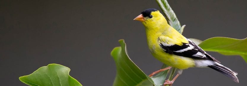 Wild american goldfinch on plant stem