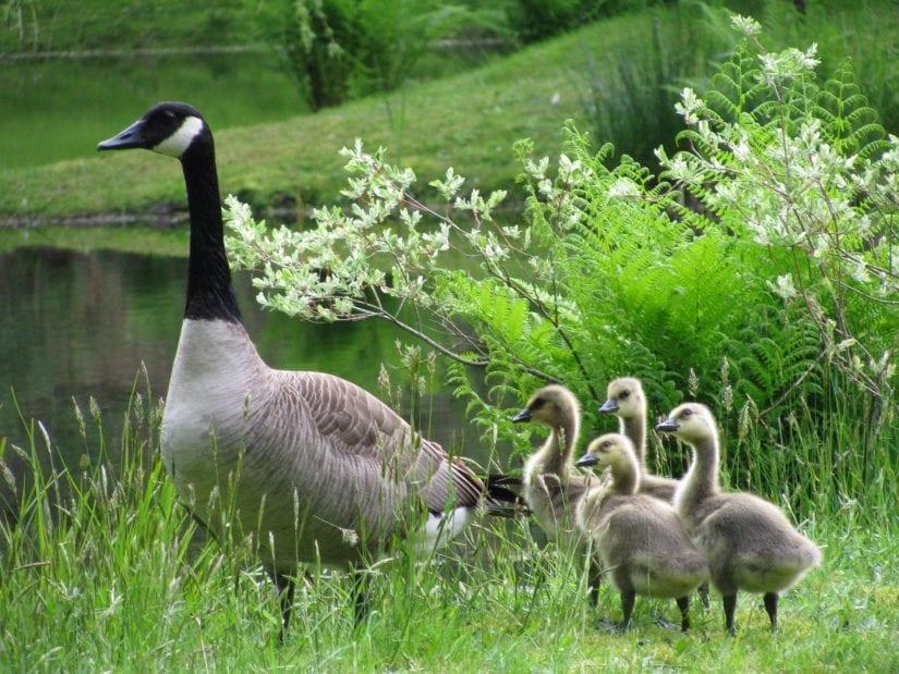 Wild canada goose with four cute goslings by water on the grass