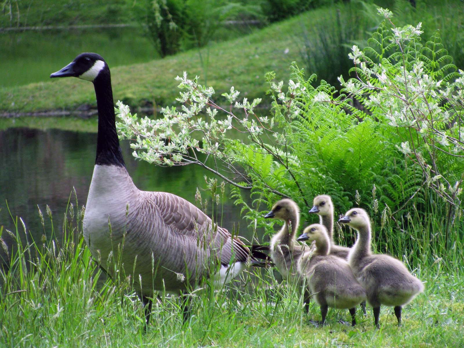 Group of wild canada geese with a parent and four cute goslings by water on the grass