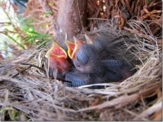Group of wild bird chicks in nest with mouths open chirping