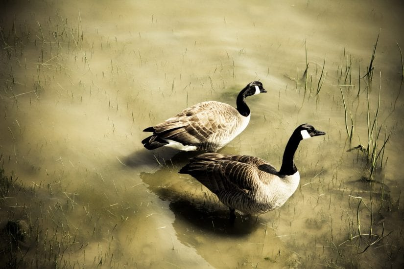 Two wild geese in murky muddy water