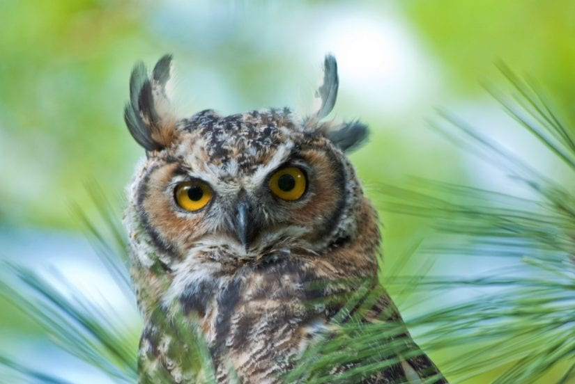 Close up eye contact shot of wild great horned owl