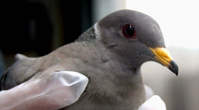An injured dove being helped.