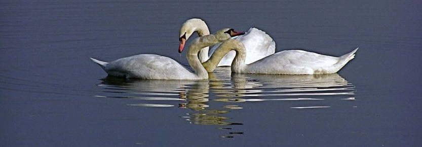 Three wild mute swans swimming on water surface