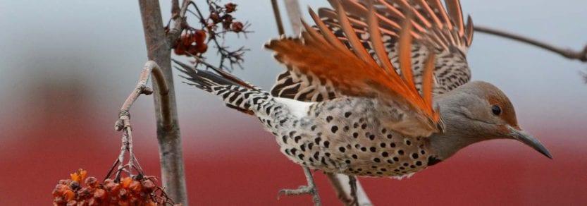 Wild northern flicker bird flying away from berry branch