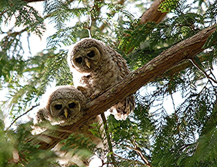 Wild owls on branch of tree looking down