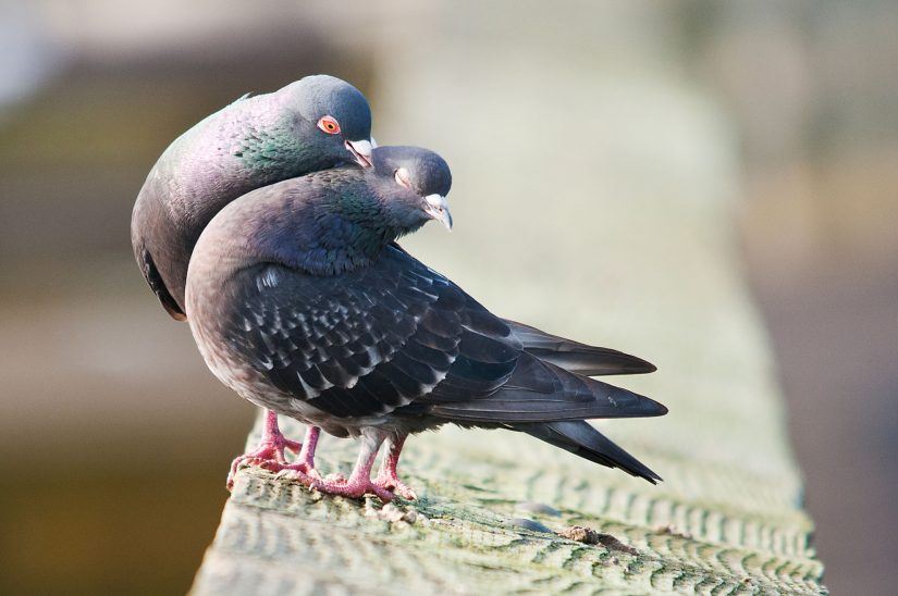 Wild pigeons on wood post cuddling giving a peck kiss