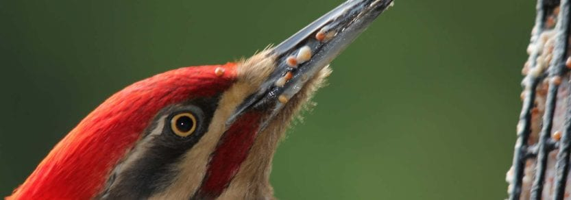 Close up shot of pileated woodpecker eating