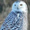 Close up shot of wild snowy owl