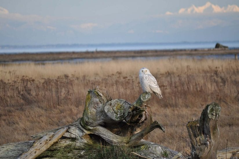 Wild snowy owl near water sitting on log