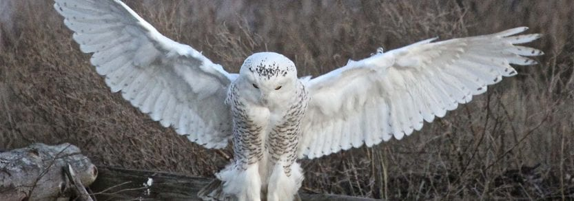 Wild snowy owl on stump with wings spread out