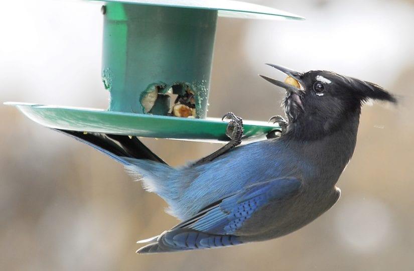 Wild stellar jay bird hanging off a bird feeder eating seeds